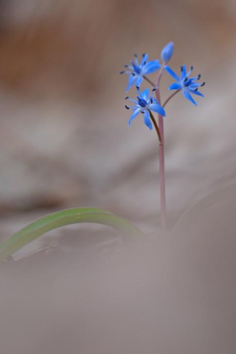 Wiener Blaustern (Scilla vindobonensis)