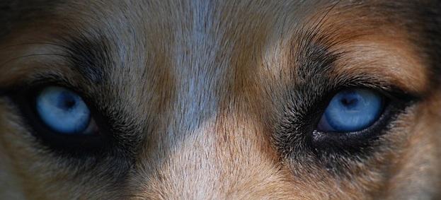 wolf-eyes-2