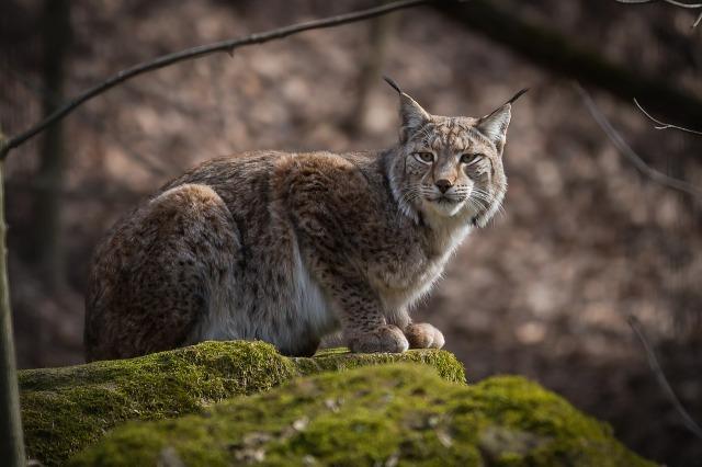 Lynx_rock